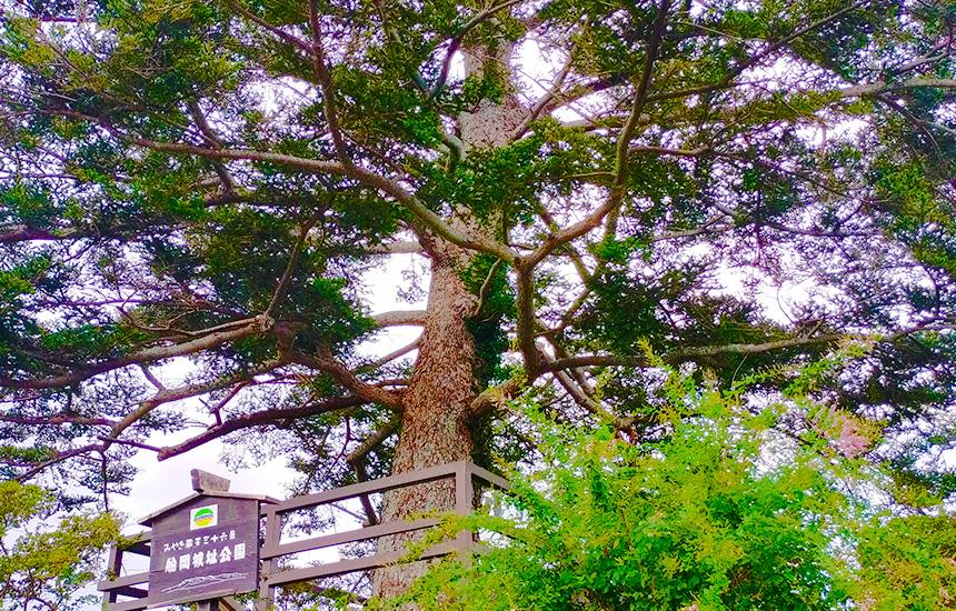 阿武隈急行線の東船岡駅から船岡城址公園に行くと、大河ドラマにもなった樅ノ木は残ったの樅ノ木を見る事が出来ます。